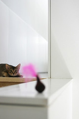 toy_cat_5757 (y_and_r_d) Tags: light portrait pets brown white animal japan cat canon cool asia play artistic unique interior zen minimalism abyssinian simple  myhome roux    thecatwhoturnedonandoff