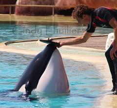 Wikie (Kalia-l0ve) Tags: ocean ctedazur whales parc killerwhale antibes marineland ocan prdateur orque parcaquatique paulard wikie