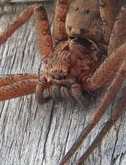 111 (RUMTIME) Tags: nature spider queensland macromarvels elitebugs