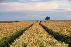 Une longue route (photosenvrac) Tags: tree nature field landscape countryside wheat culture crop chestnut paysage campagne arbre champ beauce blé marronnier thierryduchamp