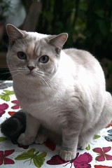 018 (piaktw) Tags: cat kitten britishshorthair luddkolts