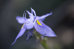 Flower and Ant (Justin Chase) Tags: arizona flower garden botanical purple desert ant