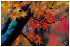 20121126_6788_ (Redhat/) Tags: autumn fall japan temple maple kyoto redhat           eikando