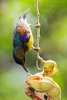 Brown-throated Sunbird (Anthreptes malacensis) (Jeluba) Tags: bird nature vertical thailand asia wildlife aves ornithology birdwatching oiseau brownthroatedsunbird anthreptesmalacensis braunkehlnektarvogel souimangaàgorgebrune