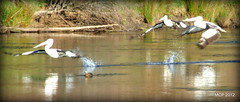 pelican's your clear for takeoff (MadCoreyPhotography) Tags: water view pelican takeoff shannons snowymountains swampy khancoban swampyplainsriver