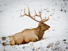 North American Elk (Turk Images) Tags: alberta mammals wapiti jaspernationalpark cervidae northamericanelk cervuscanadensis