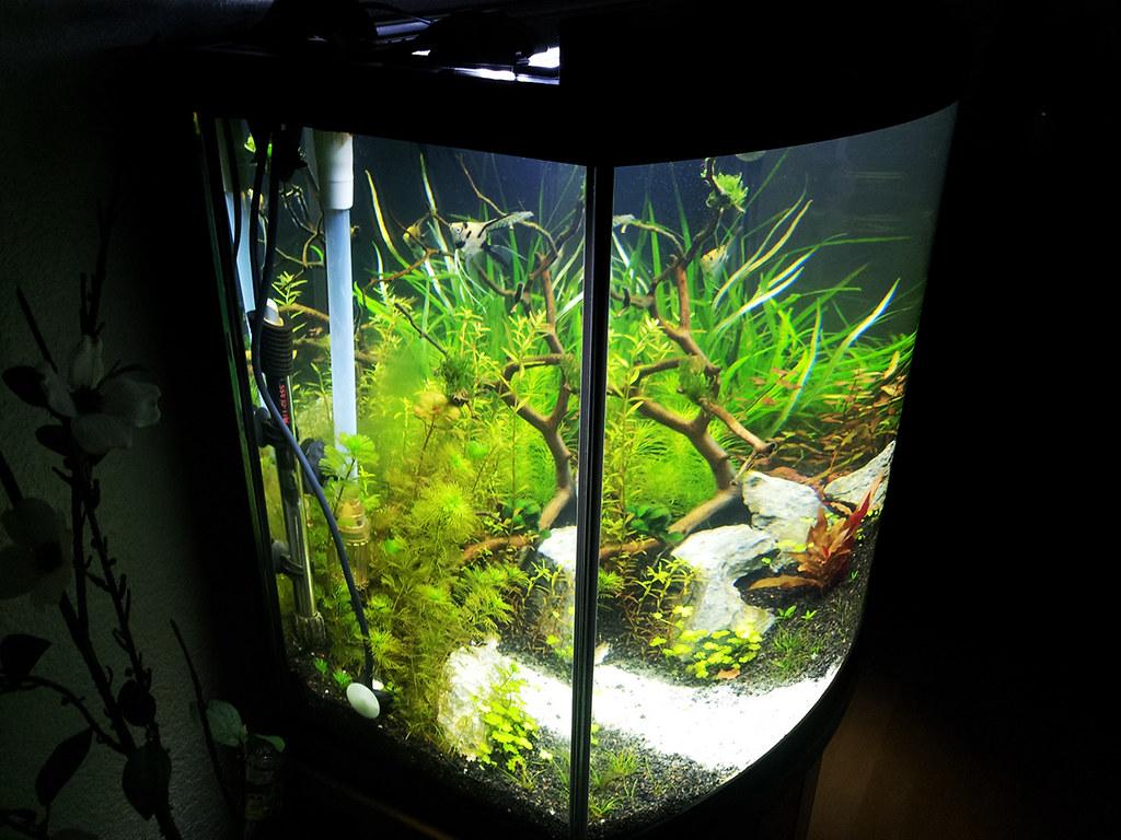 Aqueon26g_Week2_Update2 (BryGuy_ASU) Tags: 2 Dutch Ray Veil 26 Front Bow  Angelfish 306 Manzanita
