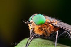 Tbano (Sebastin Padrn) Tags: mountains insectos macro insect fly ecuador foto sebastian andes fotografia mosca padrn montaas biodiversity insecto sebastin diptera padron biodiversidad azuay tabano httpwwwsebastianpadroncom