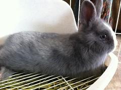 Alert Abby (sakura_chan15) Tags: rabbit bunny netherlanddwarfrabbit