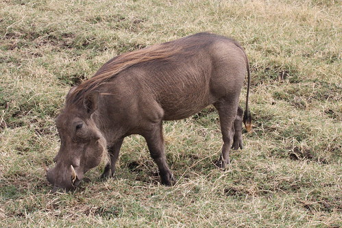 Warthogs in Ngorongoro Crater (15)