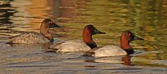 Christmas Canvasback Trio (cetch1) Tags: nature wildlife ducks canvasback mfcc divingduck aythyavalisineria northerncaliforniawildlife