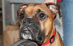 Bodie (blazer8696) Tags: usa dog bristol unitedstates connecticut ct boxer bodie 2012 ecw benstedcorner t2012
