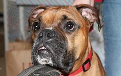 Bodie (blazer8696) Tags: usa dog bristol unitedstates connecticut ct boxer bodie 2012 ecw furandfeathers benstedcorner t2012