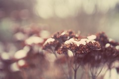 What's to come (Becky~Sue) Tags: snow bokeh sedum 2012 3651