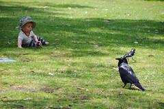 Fascination (Richard+Rachel) Tags: baby australia canberra crow act botanicgardens australiancapitalterritory australiannationalbotanicgardens