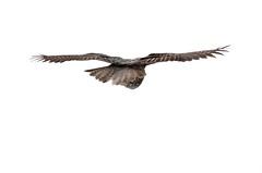 Derrire (anjoudiscus) Tags: canada bird nature inflight ange qubec owl vol greatgrayowl oiseau d800 chouette chouettelapone rapace strigidae prdateur  oiseaudeproie strigid strixnubelosa nikkor28300mmvr
