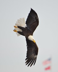 American Bald Eagle: ready to dive and fish [1942] (cl.lin) Tags: mississippi midwest eagle wildlife baldeagle sigma iowa mississippiriver eagles americanbaldeagle leclaire nikond600 lockanddam14 ld14