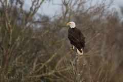 Bald Eagles of Pearland Texas (Dan Pancamo) Tags: 2011 2012 baldeagle bird birds canon14xiii canon500mmf4isii canon7d december nature pearland pearlandbaldeagles texas