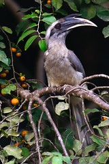 Indian Grey Hornbill (ArvinnArvin) Tags: wild tree male texture nature beautiful up look birds yellow forest grey fly wings eyes berries character branches indian beak feathers free jungle hood environment common karnataka majestic rare hornbill claws dandeli dashing