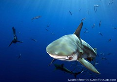 Blacktip on Blue (Jeff Milisen) Tags: ocean life desktop blue sea fish seascape jeff nature water canon shark photo snorkel natural background teeth dive bluewater scuba diving best bite diver chomp oceanic blacktip carcharhinus baitball limbatus opelu milisen milisenhawaiiedu