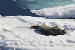 "Weddell Seal • <a style=""font-size:0.8em;"" href=""http://www.flickr.com/photos/27717602@N03/8340445271/"" target=""_blank"">View on Flickr</a>"