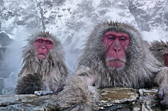 hot monkeys.. (xtremepeaks) Tags: park winter snow hot water japan grandmother springs monkeys nagano jigokudani bigmomma challengeyouwinner thepinnaclehof kanchenjungachallengewinner kanchenjungawinner k2challengewinner tphofweek186