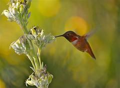 Rufous Hummingbird 2 (newagecrap) Tags: california winter nature losangeles nikon hummingbird hummingbirds sanfernandovalley northhills losangelescounty rufoushummingbird selasphorusrufus trochilidae northhillscalifornia nikond5100 newagecrapphotography