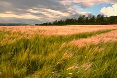 Wheat Field Brideswell (murtphillips) Tags: trees sky black cow purple sheep martin wheat hill phillips north wexford brideswell murt natureplus ballyconran mygearandme rememberthatmomentlevel1 besteverdigitalphotography