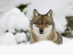 Wolf (Canis lupus) (Schattenjger) Tags: wolf pentax loup lupus carnivore canis canislupus canidae grauwolf