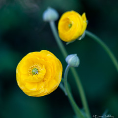 Happiness.... (loobyloo55) Tags: flower macro nature yellow canon flora sydney ranunculus 100mm f28 floraandfauna canoneos400d