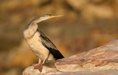Darter at East Point_9928 (Jen Crowley Photography) Tags: darter bird eastpoint darwin nt northernterritory nikon australia