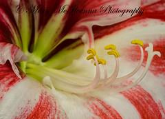 Pollen on Stamen and Stigma (Mary McIlvenna Photography) Tags: amaryllis amaryllisclown eisaphotomaestrocompetition2013 flora macrostory silkpaper story floralart flower macro