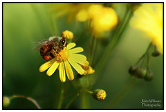 Bee Happy! (juliewilliams11) Tags: photoborder flower outdoor plant bee yellow canon insect newsouthwales australia