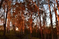 smoky sunset (dustaway) Tags: trees treescape lastlight sunset loganvalley sequeensland queensland australia myrtaceae angophoraleiocarpa smoothbarkedapplegum dirtroad