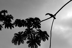 Toucan on a Cloudy Caribbean Day (Douglas Heusser) Tags: wildlife silhouette nature canon photography grayscale white black rica costa caribbean bird toucan