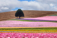 Multi Flavored Sherbet Swirl (Ian Sane) Tags: ian sane images multiflavoredsherbetswirl silverton oregon seed company colorful fields crops flowers lone tree evens valley loop northeast farm agriculture canon eos 5d mark ii two camera ef100400mm f4556l is usm lens