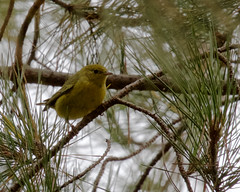 Yellow Warbler (Tom Clifton) Tags: pointlobos lacelichentrail yellowwarbler yewa