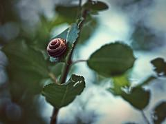 2016-07-28_21-05-23 (torstenbehrens) Tags: schnecke blatt bokeh olympus ep5 m45mm f18 digital camera