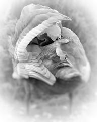 Sliding Swan! HSS (ashperkins) Tags: sliderssunday hss muteswan juvenilemuteswan juvenile eos7d ef100400mmf4556lisusm abergele northwales ashperkins bbcwalesnature