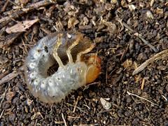 Phyllophaga (carlos mancilla) Tags: phyllophaga insectos escarabajos beetles larvas larvae olympussp570uz mayates