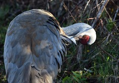Sandhill Crane (careth@2012) Tags: wildlife sandhillcrane nature bird beak feathers pose eye