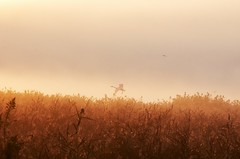 Autumn deepens. (K16mix) Tags: japan izunuma miyagi kurihara asia lake swan nature wildbird wildlife sun haze morning mist mysterious eaafp ramsarconvention              place    fantastic   autumn fall