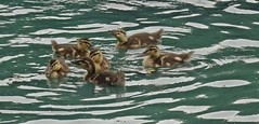 The Renfrew VI (Bricheno) Tags: renfrew bricheno mallard mallards duck ducks ducklings pond park robertsonpark scotland escocia schottland cosse scozia esccia szkocja scoia