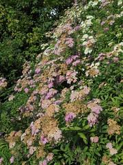216 (en-ri) Tags: fiorellini flowers cespuglio appassiti rosa sony sonysti avvizziti