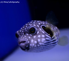A lonely ol' Puffer fish. (MAMF photography.) Tags: fish tropicalfish aquarium beauty beautiful flickrcom flickr google googleimages greatphotographers greatphoto image mamfphotography mamf nikon nikond7100 photo sex water pufferfish england eastyorkshire uk unitedkingdom
