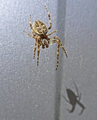Hanging (Bricheno) Tags: bricheno scotland escocia schottland cosse scozia esccia szkocja scoia    glasgow spider macro arachnid shadow dalmarnock orbweaver