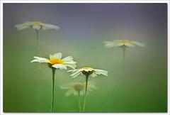 Stendhal III (hequebaeza) Tags: naturaleza nature florasilvestre vegetacin vegetation flores flowers ptalos blanco white amarillo yelow petals margaritas daisies nikon d5100 nikond5100 55200mm hequebaeza