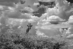 Head in the Clouds (zenseas : )) Tags: headintheclouds clouds sky tall giraffe wild angolangiraffe namibiangiraffe giraffacamelopardalisangolensis giraffacamelopardalis safari selfdrivesafari etosha etoshanationalpark namibia africa holiday vacation ir bw blackandwhite monochrome infrared digitalinfrared namutoni