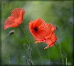 I love taking pictures of poppies  (gewoon-marieke) Tags: holland dof flowers garden bokeh nikon nature red poppies