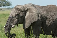 _CR14724.jpg (sylvainbenoist) Tags: africa afrique animaux continentsetpays elephant mammifères nature serengeti tz tza tanzania tanzanie